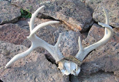 coues deer rack