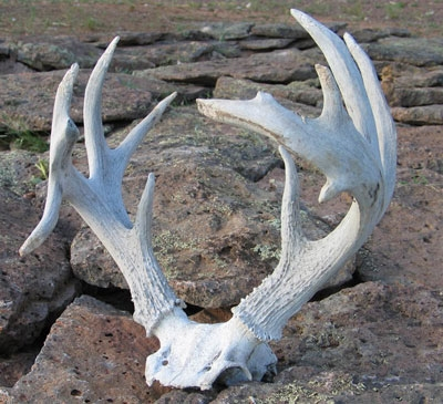 Coues Whitetail 115 inches