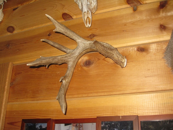 coues shed antler