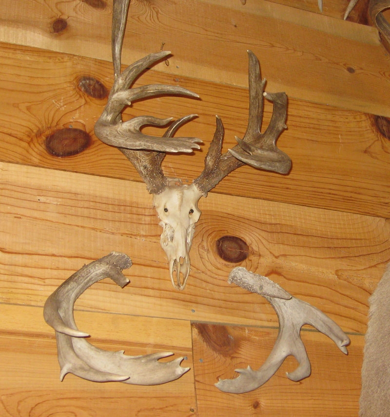 giant coues buck with shed antlers