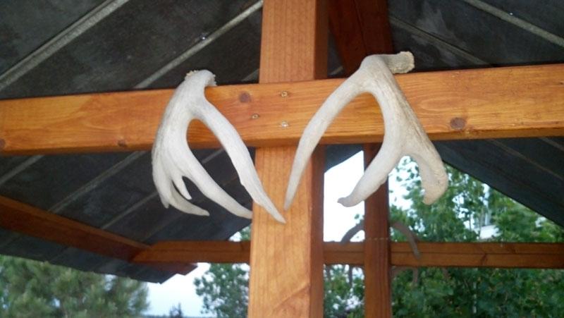 coues deer shed antlers