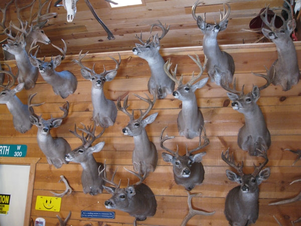 Coues buck collection
