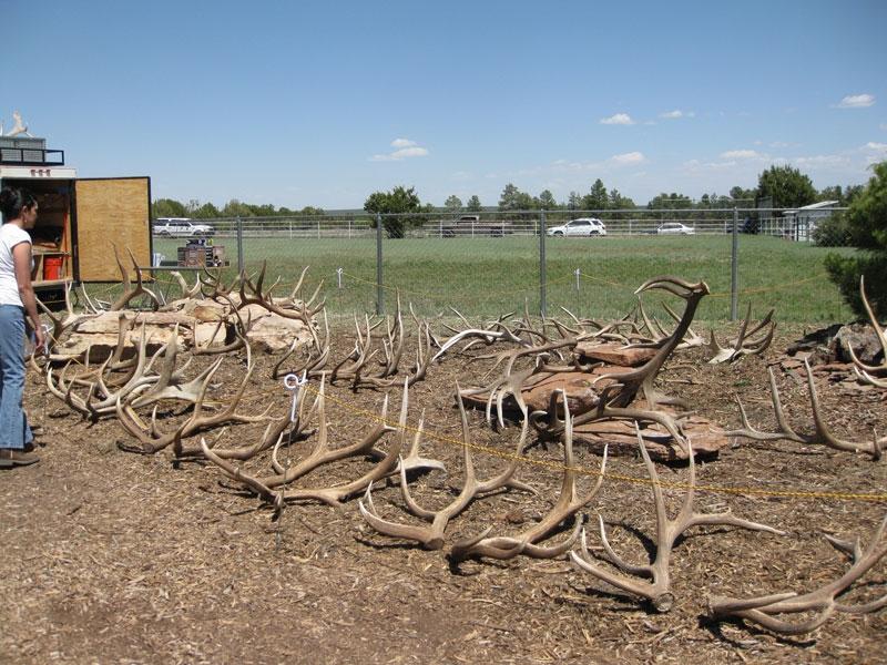 elk shed antler