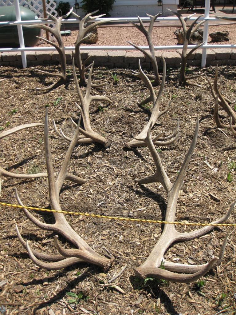 elk shed antler set