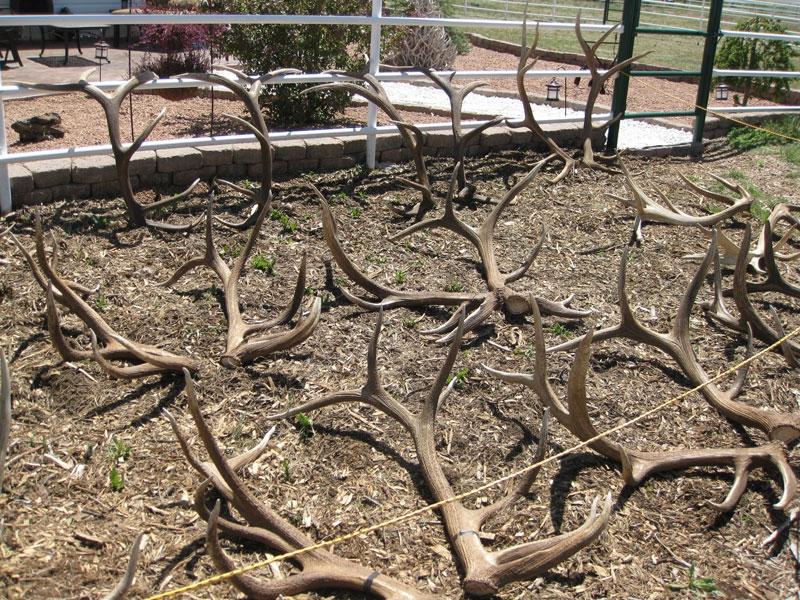 elk shed antlers
