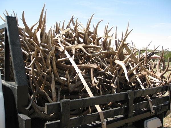 matched elk shed antlers