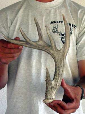 coues deer shed antler