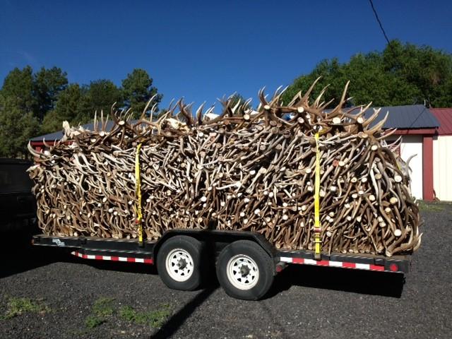 elk shed antlers on trailer