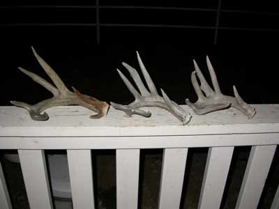 giant coues shed antler set