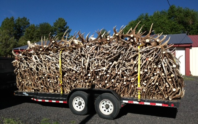 Shed antlers on trailer